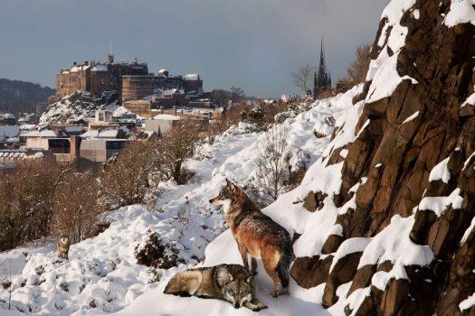 Les Loups en Ecosse