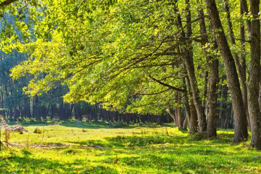 Les arbres rencontrés dans les bois et forêts en Écosse