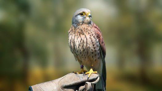 Oiseaux d'Écosse : Oiseaux de Proie, Oiseaux des Jardins & Plus Encore